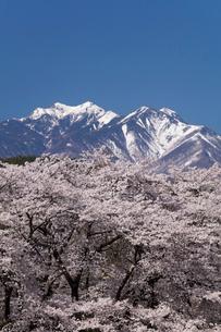 真原桜並木と八ヶ岳の写真素材 [FYI03429117]