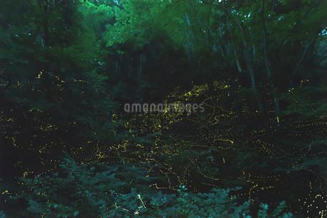 神石高原のヒメボタルの写真素材 [FYI03429177]