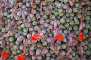 サボテンの花の写真素材 [FYI03429179]