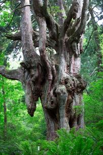 岩倉の乳房杉の写真素材 [FYI03429180]