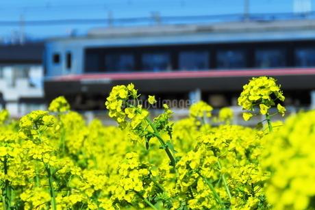 菜の花と小田急ロマンスカーEXEαの写真素材 [FYI03429235]