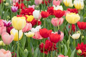 チューリップの花の写真素材 [FYI03429376]