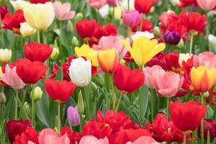 チューリップの花の写真素材 [FYI03429386]