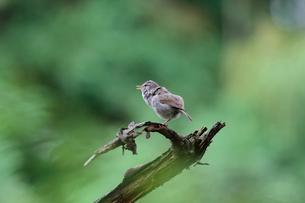 夏の小枝でさえずるウグイスの写真素材 [FYI03429417]