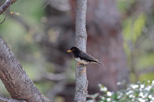 春の枝に留るクロツグミの写真素材 [FYI03429436]