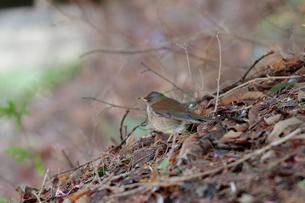 枯れ葉の上で佇むシロハラの写真素材 [FYI03429439]