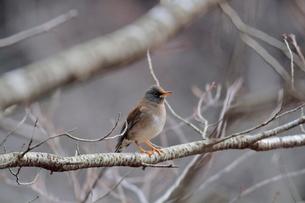 冬の小枝に留るシロハラの写真素材 [FYI03429441]