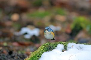 雪の苔に佇むルリビタキの写真素材 [FYI03429444]