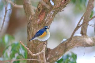 冬の小枝に留るルリビタキの写真素材 [FYI03429445]