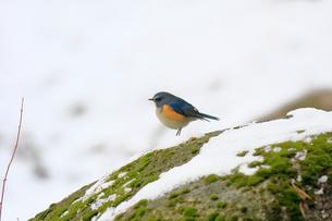 雪の岩場で佇むルリビタキの写真素材 [FYI03429447]