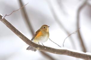 冬の小枝に留るルリビタキのメスの写真素材 [FYI03429449]