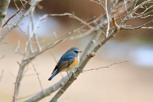 冬の小枝に留るルリビタキの写真素材 [FYI03429453]