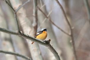 冬の小枝で佇むジョウビタキの写真素材 [FYI03429454]