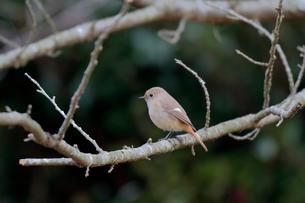 冬の小枝に留るジョウビタキのメスの写真素材 [FYI03429456]