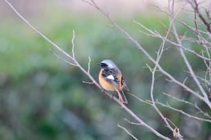 冬の小枝に留るジョウビタキの写真素材 [FYI03429457]