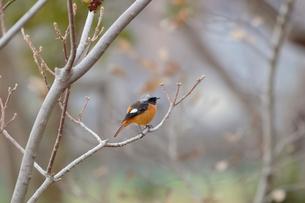 冬の小枝に留るジョウビタキの写真素材 [FYI03429459]
