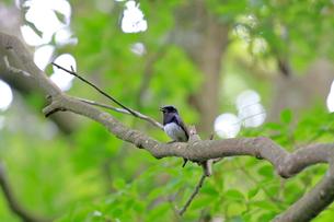 夏の小枝でさえずるオオルリの写真素材 [FYI03429472]