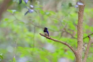 初夏の小枝でさえずるオオルリの写真素材 [FYI03429473]