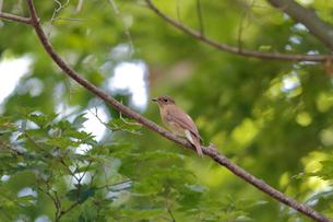 夏の小枝に留るオオルリのメスの写真素材 [FYI03429474]