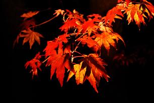 ライトアップされたカエデの葉の写真素材 [FYI03429495]