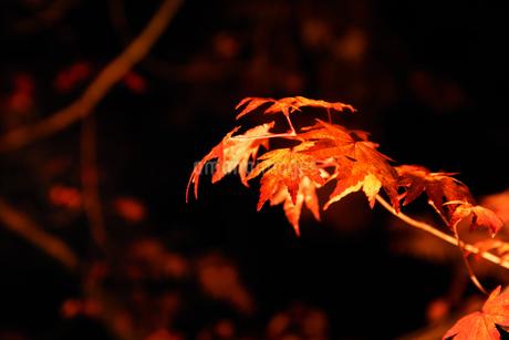 ライトアップされたカエデの葉の写真素材 [FYI03429496]