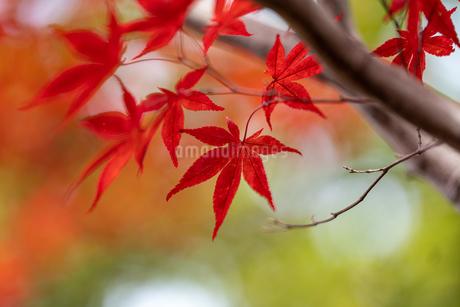 紅葉の写真素材 [FYI03429607]