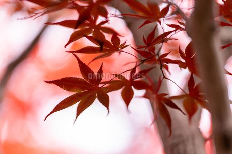 紅葉の写真素材 [FYI03429608]