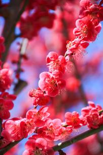 梅の写真素材 [FYI03429706]