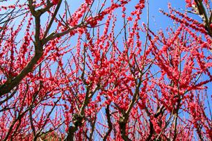 梅の写真素材 [FYI03429707]