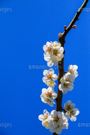 梅の写真素材 [FYI03429708]