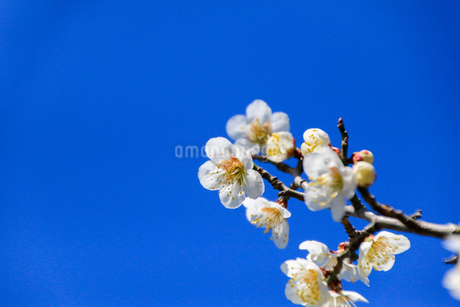 梅の写真素材 [FYI03429709]