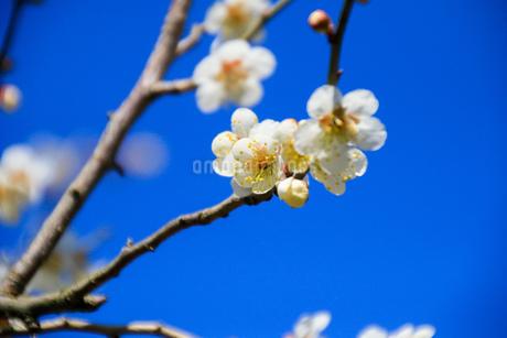 梅の写真素材 [FYI03429710]