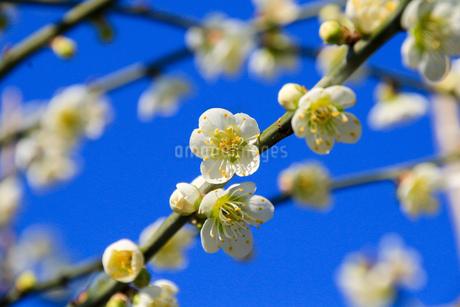 梅の写真素材 [FYI03429711]