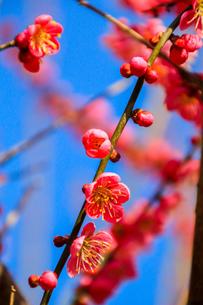 梅の写真素材 [FYI03429714]