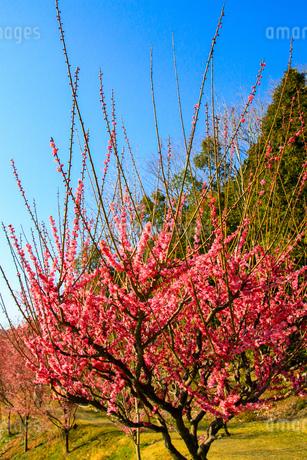 梅の写真素材 [FYI03429715]