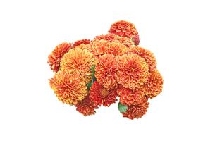 菊の花束の写真素材 [FYI03429725]