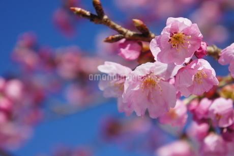 河津桜が咲き始めたの写真素材 [FYI03429733]