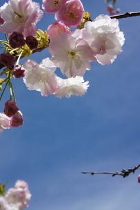 枝垂れ桜の写真素材 [FYI03429737]