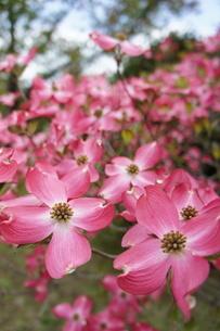 ピンクのハナミズキの写真素材 [FYI03429739]