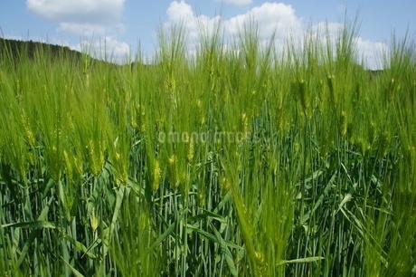 麦畑の写真素材 [FYI03429747]