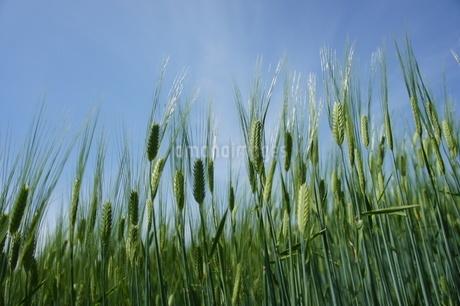 麦畑の写真素材 [FYI03429785]