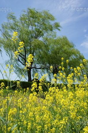 菜の花の写真素材 [FYI03429789]