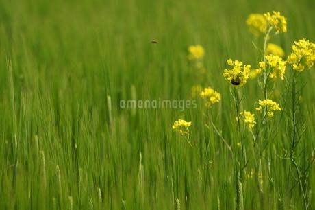麦畑の中の菜の花の写真素材 [FYI03429792]