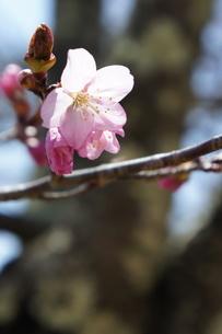 桜の写真素材 [FYI03429801]