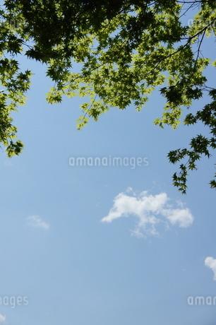 新緑のもみじの写真素材 [FYI03429806]