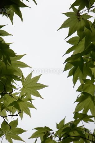 春もみじの写真素材 [FYI03429811]