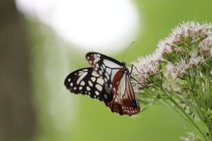 深山のアサギマダラ蝶の写真素材 [FYI03429832]