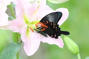 カラスアゲハ蝶とピンクの透かしユリの写真素材 [FYI03429834]