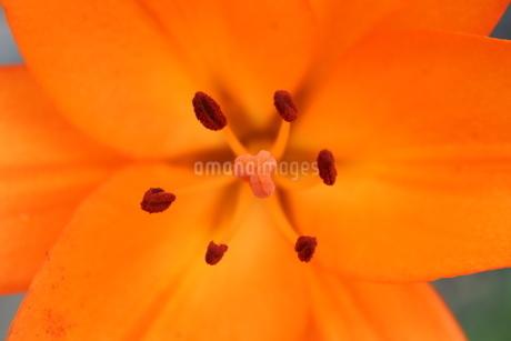 透かしユリの花の写真素材 [FYI03429848]