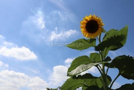 夏空と向日葵の写真素材 [FYI03429854]